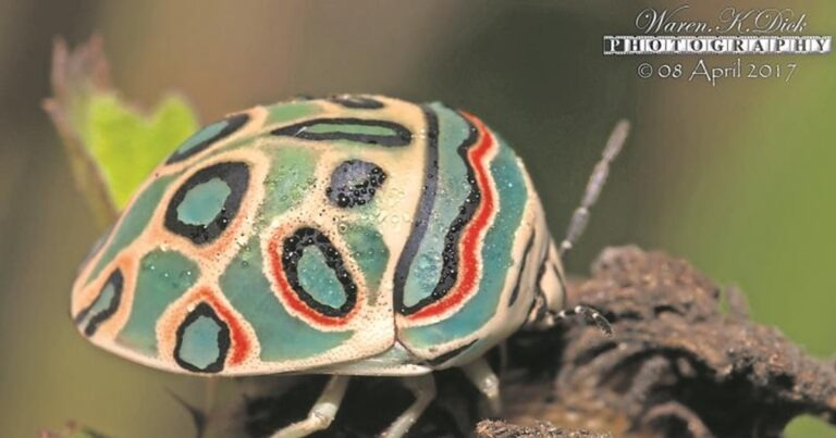 Picasso Bugs Are More Interesting Than You Might Think