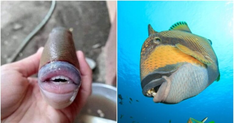 The Triggerfish Has A Human Mouth And Will Freak You Out
