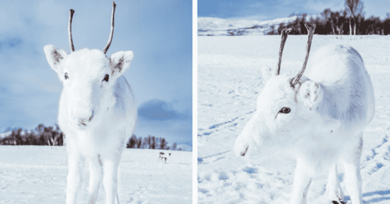 This White Reindeer Looks Like It's Straight Out Of A Christmas Movie