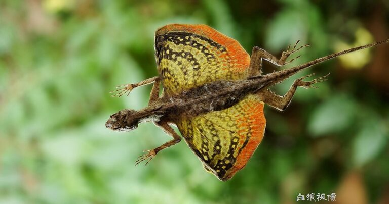 The Draco Lizard: The Flying Dragons That You Never Heard Of
