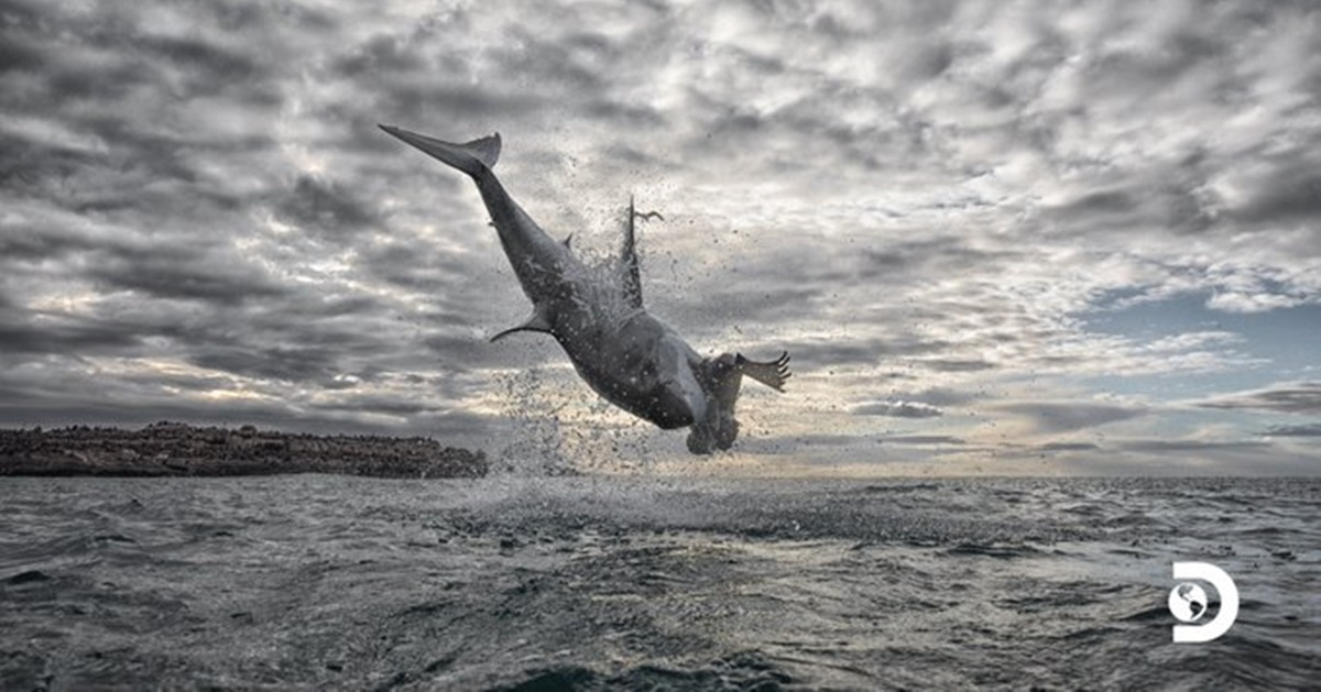Great White Shark Jumps