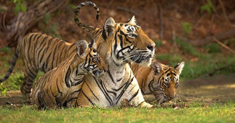 Tigers Are Making A Comback In India And Nepal
