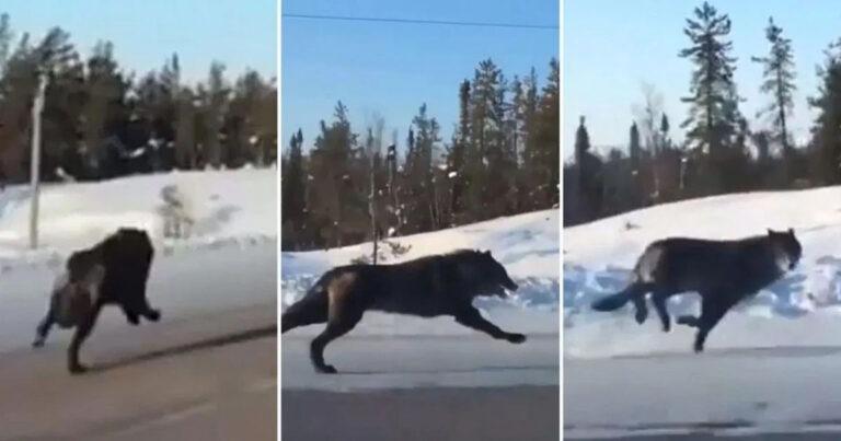 Woman Films 2 Huge Black Wolves Running Down The Highway